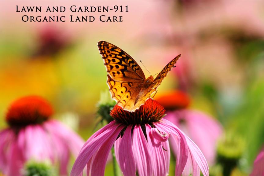Garden-911 pollinator garden; fritillary butterfly on Echinacae flower.