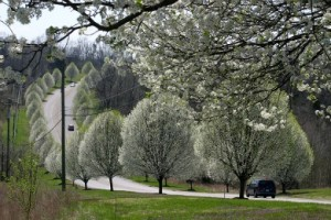 Bradford pear trees in bloom along a street