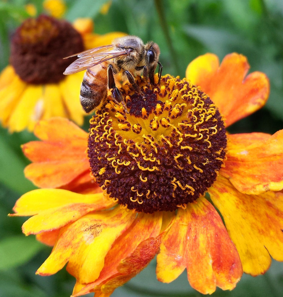 European honey bee harvests nectar from Helenium