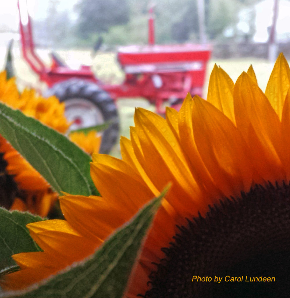 Cultivating tractor and sunflower at the Langwater Farm farmstand