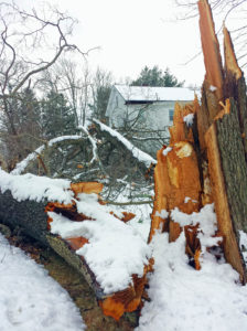 Winter storm damage in Milton, MA included two massive trees snapping at their bases