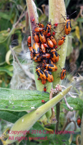 Big milkweed bug nymphs on Asclepias tuberosa, butterfly weed