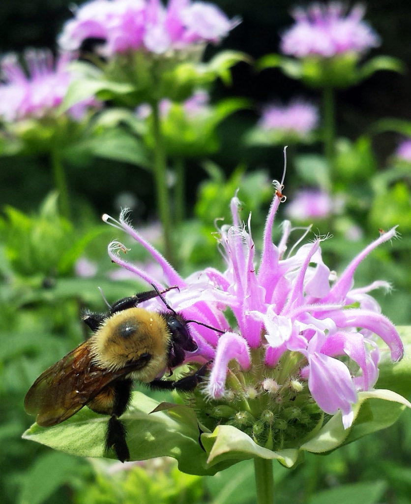 Native bee on native bee balm or Monarda in Sharon, MA