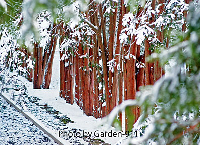 Fresh now on a gallery of Taxus trees at the Governor Oliver Ames Estate,North Easton, MA
