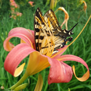 Female eastern swallowtail butterfly taking nectar from a daylily in Worcester, Vt
