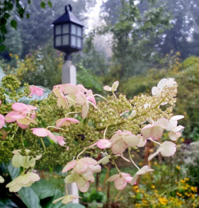 Panicle hydrangea in Sharon, MA garden