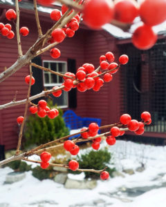 Ilex verticillata, winterberry holly, in Sharon, MA