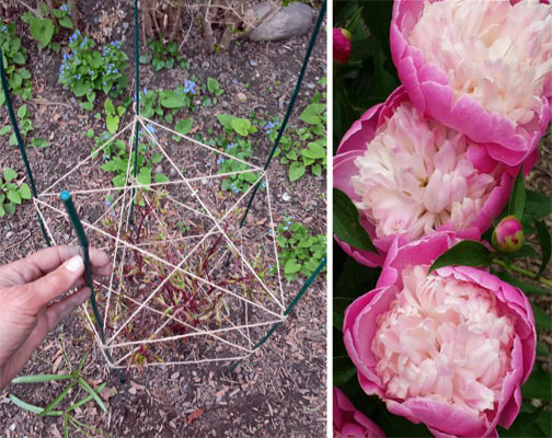 How to stake your garden perennials in spring