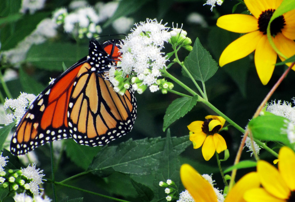 Monarch butterfly, Danaus plexippus on white snakeroot, Ageratina altissima, Sharon, MA