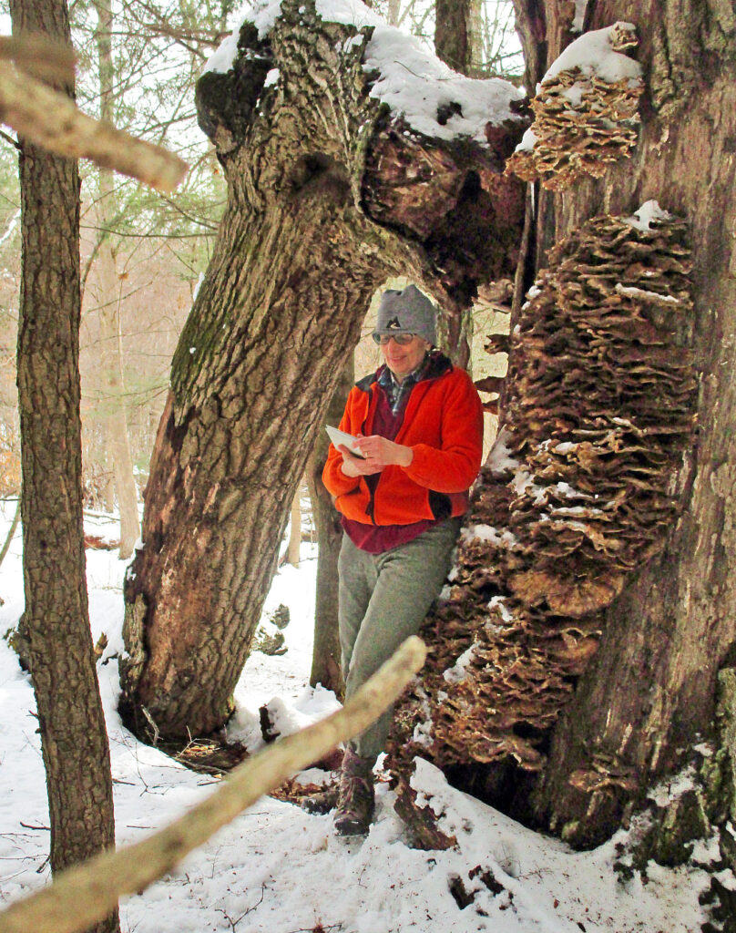 Carol learns to estimate th age of an ancient native red oak