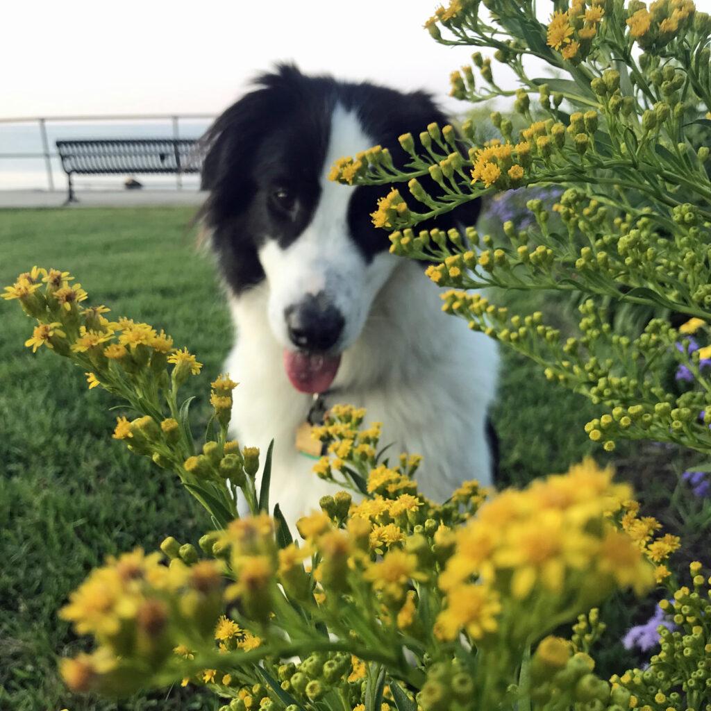 Old Garden Beach goldenrod Rockport, dog