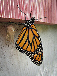 Monarch butterfly and chrysalis on house