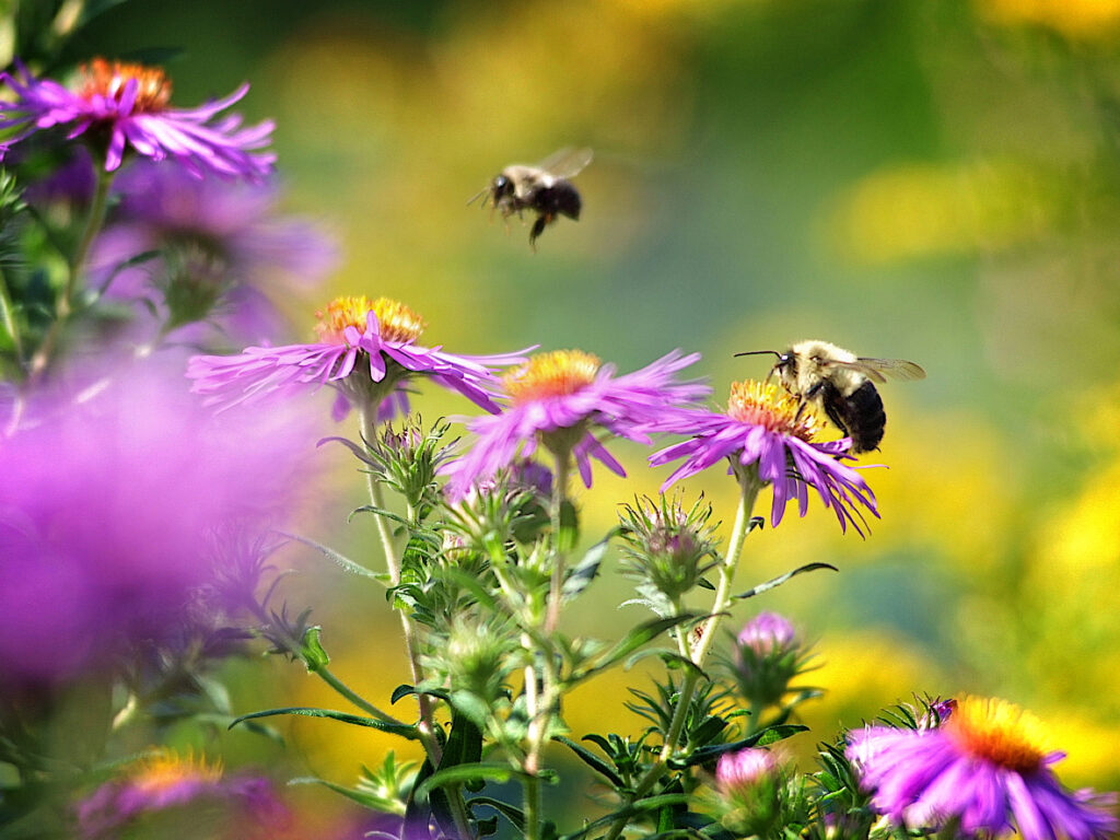 MA native bees on native asters Foxboro